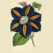 Flora Drawings Prints - Clematis Star of India Print by Unknown