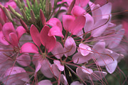 Cleome Flower Prints - Cleome Print by Denise Wagner