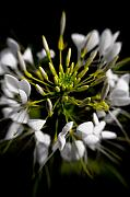 Spider Flower Posters - Cleome in Bloom Poster by Wenata Babkowski