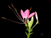 Cleome Flower Framed Prints - Cleome Framed Print by J R Baldini Master Photographer