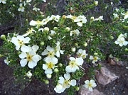 Grand Canyon National Park Photos - Cliff Rose by Charles Robinson
