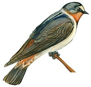 Species Drawings Prints - Cliff swallow  Print by Anonymous