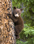 Black Bear Climbing Tree Posters - Climber Poster by Nancy J Wagner Photography
