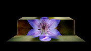 Purchase Framed Prints - Climbing Clematis Framed Print by Steven  Michael