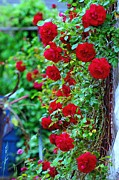 Climbing Red Roses Print by C  Lythgo