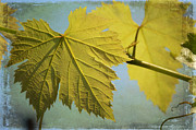 Vine Leaves Posters - Clinging To The Vine Poster by Fraida Gutovich