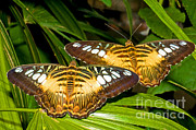 Clippers Framed Prints - Clipper Butterflies Framed Print by Millard H. Sharp