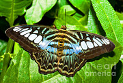 Asian Wildlife Framed Prints - Clipper Butterfly Framed Print by Millard H. Sharp
