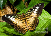 Asian Wildlife Framed Prints - Clipper Butterfly Parthenos Sp Framed Print by Millard H. Sharp