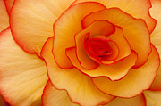 Begonia Photos - Close to Saturn by Anne Gilbert