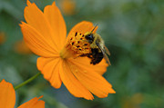 All - Close Up Bee Feeding on Orange Cosmos by Tom Wurl