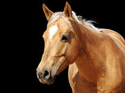 Blond Mane Framed Prints - Close-up golden palomino horse Framed Print by Sylvie Bouchard