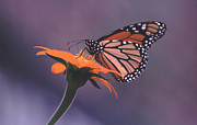 Plants From My Garden - Close Up Monarch Butterfly on Tithonia Sunflower by Tom Wurl