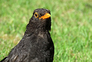 Gass Framed Prints - Close up of a British blackbird. Framed Print by Stephen Rees