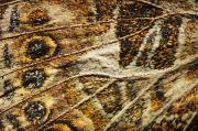 Vanessa Cardui Prints - Close Up Of A Butterfly Wing St. Albert Print by Corey Hochachka