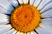Stamen Digital Art - Close Up Of  A Daisy by George Standen