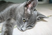 Tracey Harrington-Simpson - Close Up Of A Grey Kitten