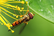 HJBH Photography - Close-up of a hoverfly