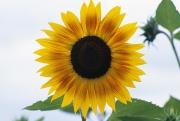 Grow Inside Framed Prints - Close-up Of Blooming Sunflower Framed Print by Dan Sherwood