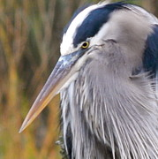 Terry Cobb - Close up of Blue Heron