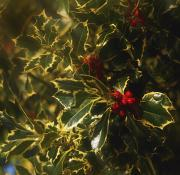 Special Occasion Photos - Close-up Of Holly And Berries Ireland by The Irish Image Collection