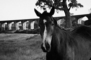 Grazing Horse Posters - close up of Horse with white stripe on its nose looking directly into camera in a field with The Craigmore Viaduct and tree behind Poster by Joe Fox