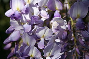 Tracey Harrington-Simpson - Close Up Of Lavender Wisteria Blossom