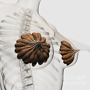Human Body Parts Posters - Close-up Of Mammary Glands Poster by Stocktrek Images