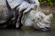 One Horned Rhino Posters - Close up of rhino drinking Rhinoceros unicornis Poster by Gino De Graaf