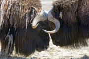 Alaska Wildlife Photos - Close Up Of Two Bull Musk Oxen Standing by Doug Lindstrand