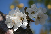 Tracey Harrington-Simpson - Close Up Of White Cherry Blossom Flowers