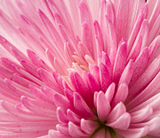 Stephen Cordory - Close up pink...