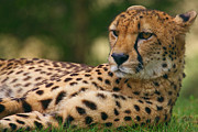 Nick  Biemans - Close-up portrait of a cheetah