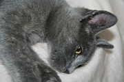 Tracey Harrington-Simpson - Close Up Portrait Of A Relaxed Grey Cat