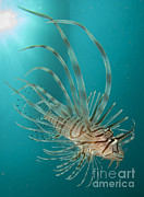 Osteichthyes Framed Prints - Close-up View Of A Lionfish, Gorontalo Framed Print by Steve Jones