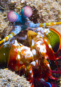 Marine Biology Prints - Close-up View Of A Mantis Shrimp Print by Steve Jones