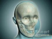 Biomedical Illustrations Posters - Close-up View Of Human Skull With X-ray Poster by Stocktrek Images