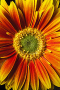 Flowers Gerbera Posters - Close up yellow orange mum Poster by Garry Gay