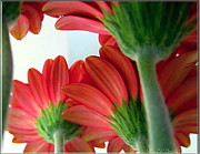 Close View From Under The Red Daisies Print by Danielle  Parent