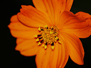Closeup Cosmos Print by Monica Veraguth
