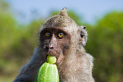 Tourism Prints - Closeup Monkey Eating Cucumber Print by Nila Newsom