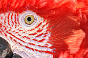 Amazon Parrot Posters - Closeup of a Scarlet Macaw Poster by Jess Kraft