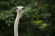 Ostrich Photos - Closeup of an Ostrich Struthio camelus by Andreas Altenburger