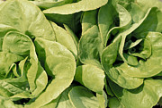 Kitchen Photographs Prints - Closeup Of Boston Lettuce Print by Anonymous
