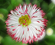 Closeup Of White And Pink Habenera English Daisy Flower Print by Valerie Garner