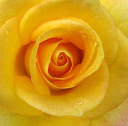 Valentine Framed Prints - Closeup of Yellow Rose with water droplets Framed Print by Jacqui Martin