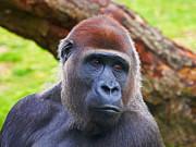 Nick  Biemans - Closeup portrait of a Gorilla