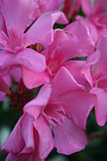 Tracey Harrington-Simpson - Closeup Shot of Pink Flowers on Oleander Shrub