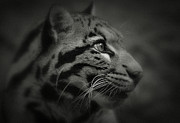 Clouded Leopard Posters - Clouded Eyes Poster by Adrian Tavano
