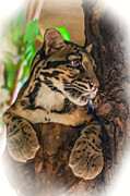Nocturnal Animal Print Framed Prints - Clouded Leopard 2 oil Framed Print by Steve Harrington
